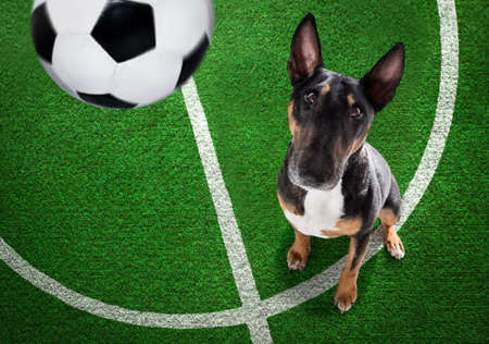 soccer bull terrier dog playing with leather ball, on football grass field