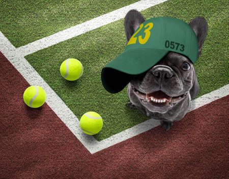 player sporty french bulldog dog on tennis field court with balls, ready for a play or game