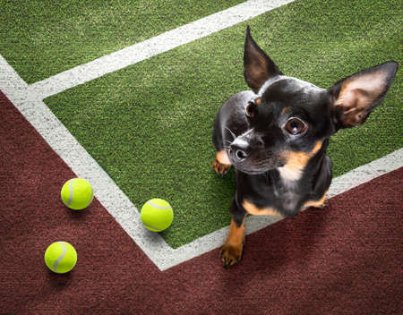 player sporty prague ratter dog on tennis field court with balls, ready for a play or game