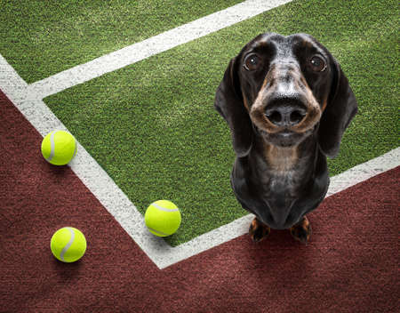 player sporty dachshund dog on tennis field court with balls, ready for a play or game Banque d'images