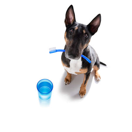 bull terrier dog holding a toothbrush with mouth, isolated on white background at dentist