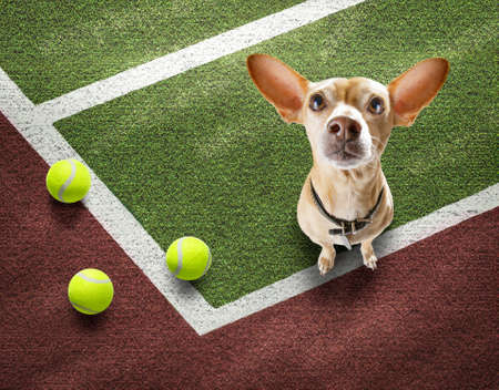 player sporty chihuahua dog on tennis field court with balls, ready for a play or game