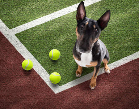 player sporty bull terier dog on tennis field court with balls, ready for a play or game