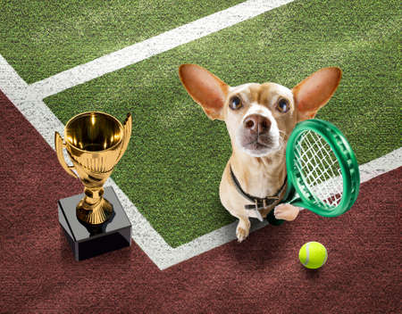 player sporty chihuahua dog on tennis field court with balls, ready for a play or game and win a trophy Banque d'images