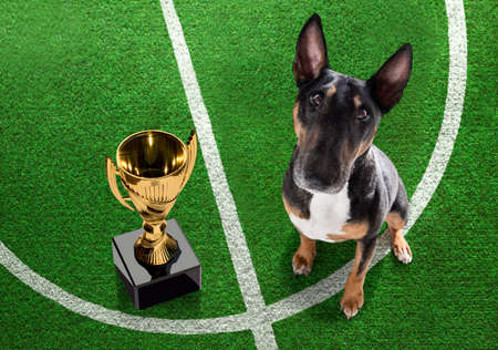 soccer bull terrier dog playing with leather ball, on football grass field and win a trophy