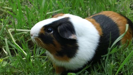 Guinea Pig playing in the backyard
