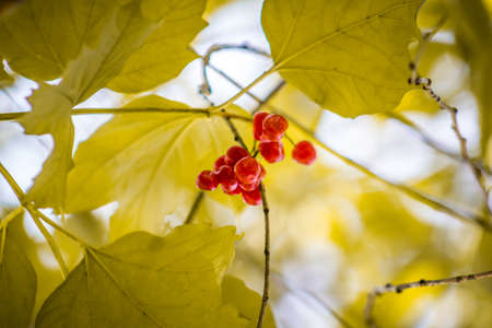 sear and yellow leaf: Withered berries among autumn leaves.
