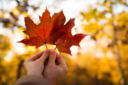 Couple in love holding with hands two red maple tree leaves in park. Concept of autumn weather and season, national symbol of Canada