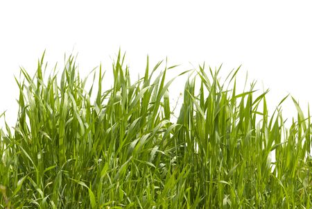Long grass on white background Stock Photo - 3099742