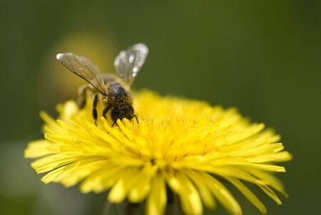 beautifull: Bee during work on flower
