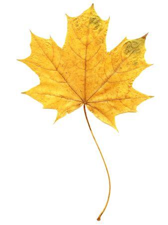 Beautiful autumn leaf on white background Stock Photo