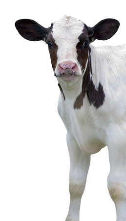 holstein cow: calf on white background
