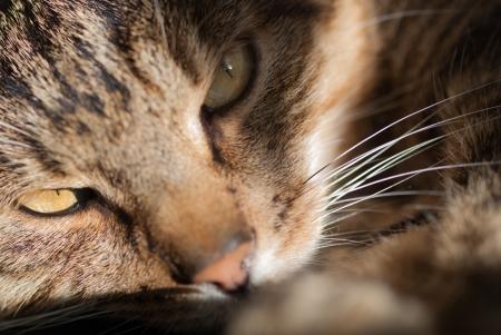 grey tabby: Closeup of furry cat named Lucky