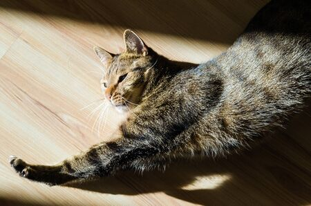 cat stretching: A cat stretching on wooden floor