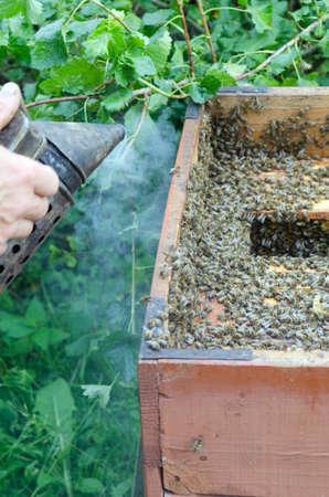 apiarist: An apiarist spraying smoke into a beehive