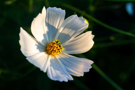 Cosmos bipinnatus, commonly called the garden cosmos or Mexican aster, white flower in the sunshine Banque d'images