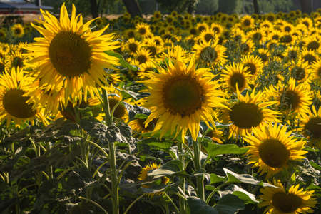 sunflower plantation in the field. yellow sunflowers in the sunshine