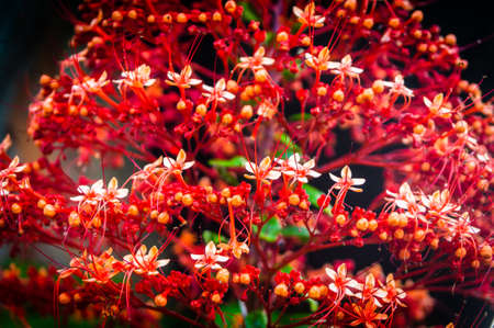 Clerodendrum paniculatum, the pagoda flower. red flower from the peruvian jungle.