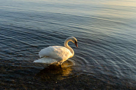 The white swan walks on the water. The sun's rays reflect off its feathers