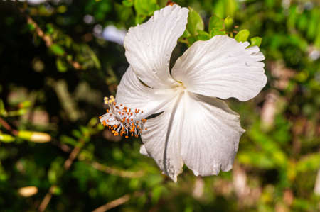 Hibiscus rosa-sinensis, known colloquially as Chinese hibiscus, China rose, Hawaiian hibiscus, rose mallow and shoeblackplant, white variety