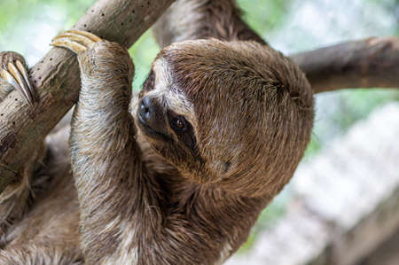 Brown-throated sloth, slow animal (Bradypus variegatus), animal face close up. Sloth hangs on a tree branch