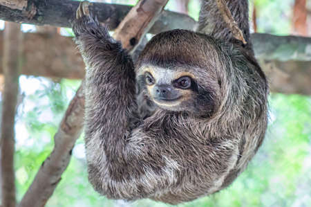 Brown-throated sloth, slow animal (Bradypus variegatus), animal face close up. Sloth hangs on a tree branch Banque d'images