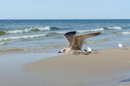 Sea waves and a flying bird. seagull flying over the Baltic Sea