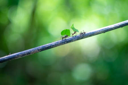 Ants carry large leaves. Amazon jungle ants march on the branch
