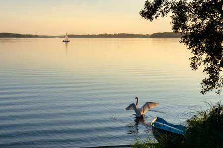 The white swan walks on the water. The sun's rays reflect off its feathers. A yacht is sailing on the Masurian Lake