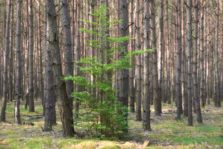 Green small deciduous tree in a coniferous forest.
