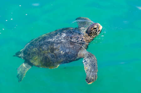 Sea turtle pulls its head out of the water. Pacific Ocean. big turtle.