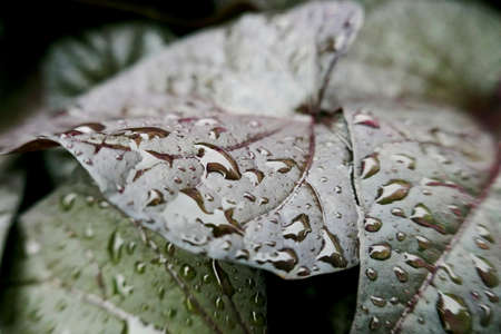 Water drops on the leaf. macro photo, background