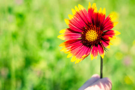 Red yellow flower held using fingers, meadow in background. Stock Photo