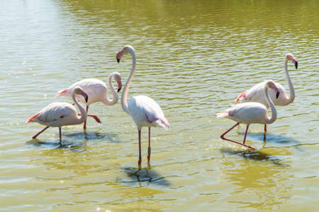 Pink flamingo in the swamp of Camargue