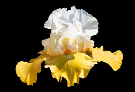A beautiful yellow and white iris flower Фото со стока