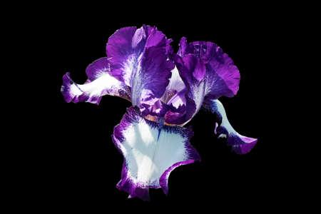 A magnificent purple iris flower