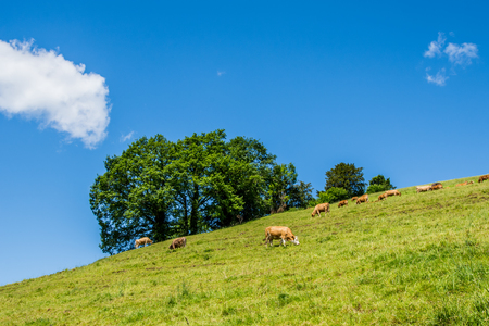 Summer landscape with cow grazing on fresh green mountain pastures