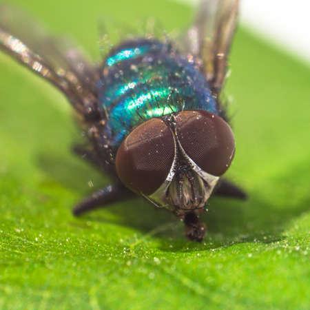 wet flies: macro fly portrait on a green leaf