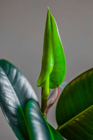 pipal: ficus flower,pipal,rubber plant Stock Photo
