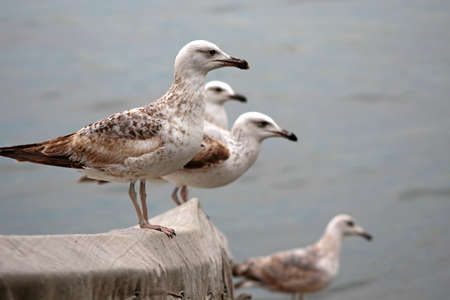 Sea Gulls on the Bosphorus in Istanbul, Turkey. 版權商用圖片 - 69343052