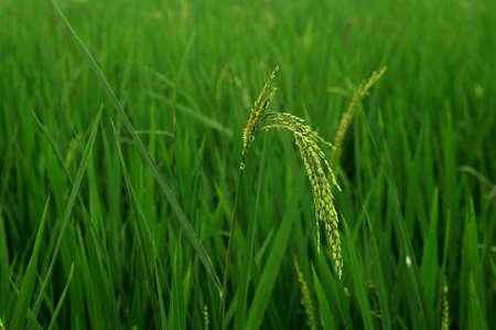 Close up view of fresh organic rice paddy plant. Zdjęcie Seryjne