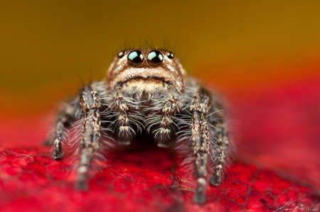 jumping spider: Cute jumping spider