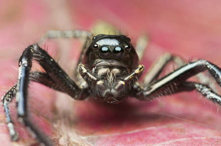 jumping spider: Jumping spider with big palp