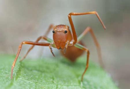 mimic: Mimic ant jumping spider Stock Photo