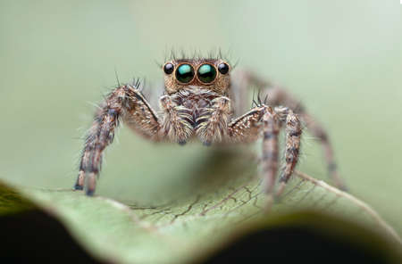 jumping spider: Home jumping spider. Stock Photo