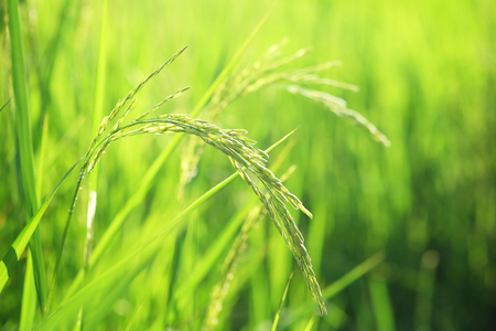 Closeup ear of paddy rice or ear of grain, Golden field, Selective focus