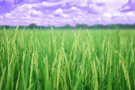 Closeup ear of paddy, Golden Rice Field, with sky and clouds, Selective focus