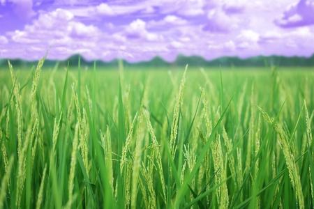 Closeup oor van padie, gouden rijstveld, met lucht en wolken, selectieve focus