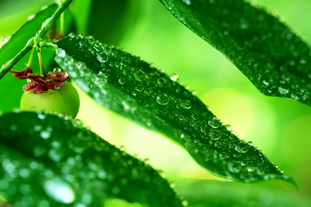 Rain drops on the green leaves of Stonebreaker or Egg woman plant or Tamalaki or Hazardana or Seed-under-leaf, Atmosphere after rain. Banco de Imagens