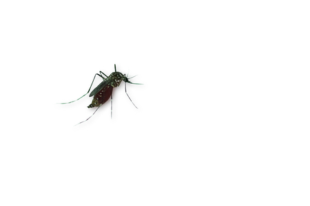Closeup Mosquito isolated on white background, with copy space